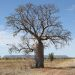 Boab tree  - Outback NT