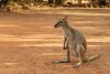 Resort Wallaby - Peggy
