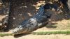 Saltie – Crocodylus Parc Darwin NT