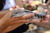 Bluetounge Lizzard – Crocodylus Parc Darwin NT