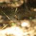 Golden Ord spider at Litchfield National Parc, NT